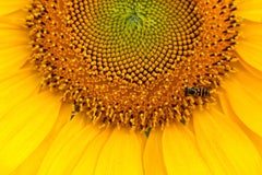 """Sunflower #11"", Rebecca Skinner, metal print, color photo, yellow, botanical"