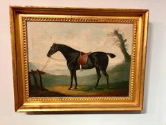 """Portrait of an English Horse """"Peily"""", a dark bay hunter tethered to a fence."""