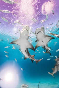 Sharks, Purple Haze, Color Photography, Fine Art Print, Underwater
