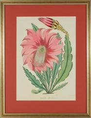 Epiphyllum Splendidum