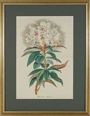 Rhododendron Arborica