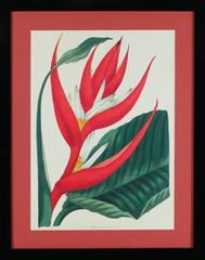Paxton's Heliconia Brazeliensis