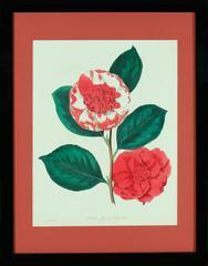 Paxton's Camellia Japonica