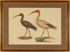 "Black Ibis and Sacred Ibis from ""Description de l'Égypte..."""