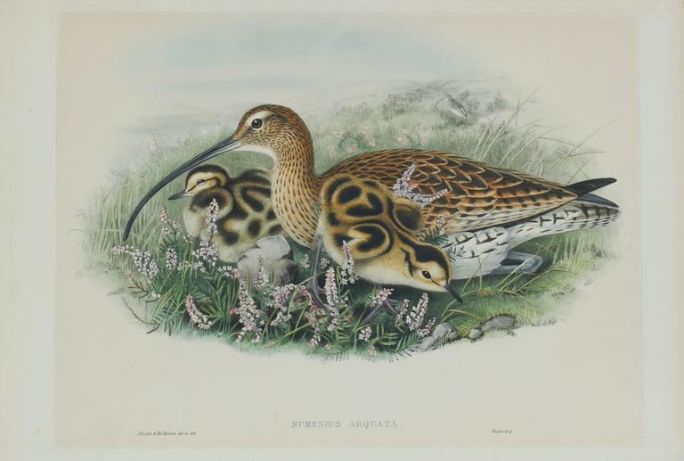 John Gould Animal Print - Eurasian Curlew (Numenius Arquata)