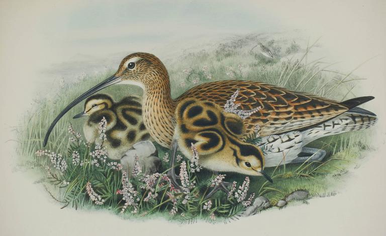 Eurasian Curlew (Numenius Arquata) - Print by John Gould