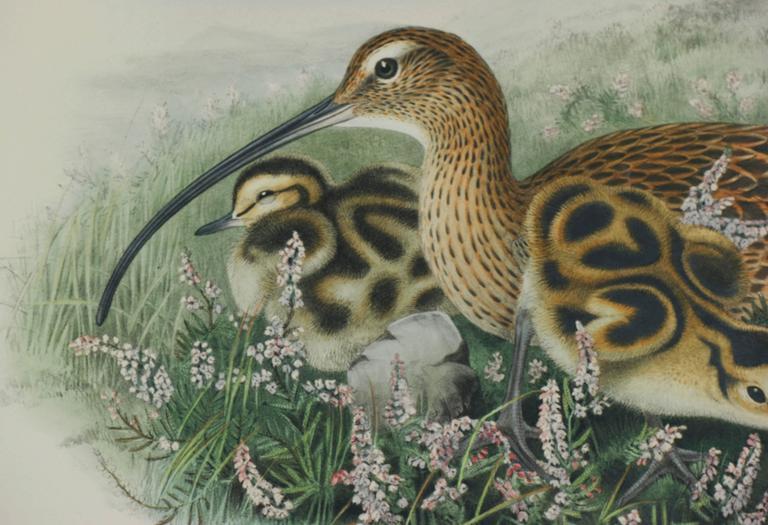 Eurasian Curlew (Numenius Arquata) - Realist Print by John Gould