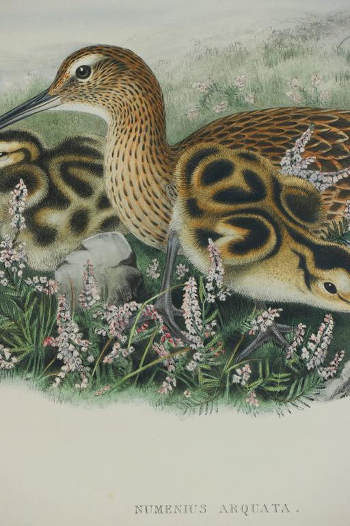Eurasian Curlew (Numenius Arquata) - Gray Animal Print by John Gould