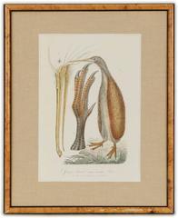 Apteryx Australis (Brown Kiwi)