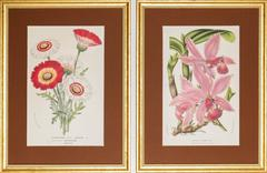 Chrysanthemum Carinatum / Chrysanthemum Tricolor