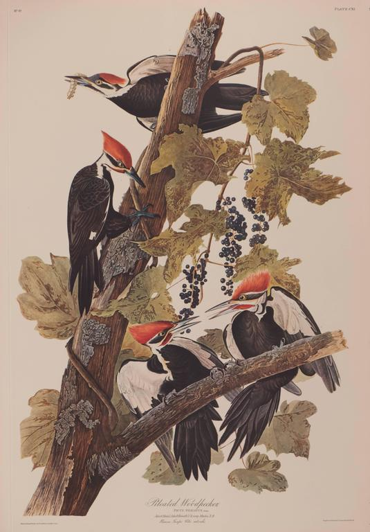 John James Audubon - Pileated Woodpecker by Audubon  1