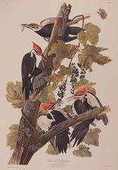 Pileated Woodpecker by Audubon