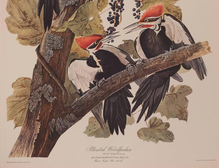 Pileated Woodpecker by Audubon  2