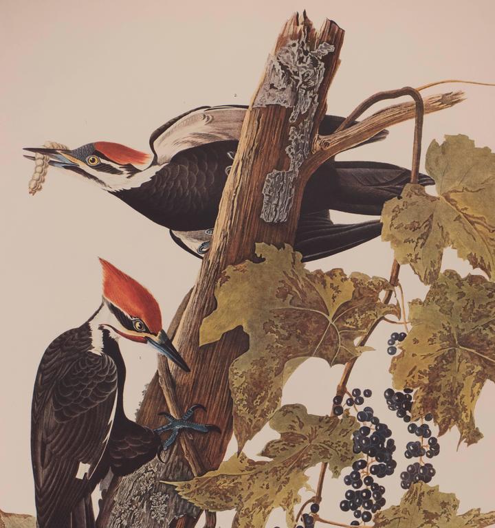 Pileated Woodpecker by Audubon  3