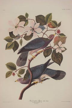 Banded-tailed Pigeon by Audubon