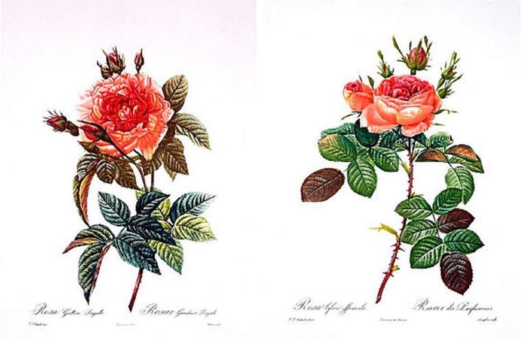 Legendary Roses