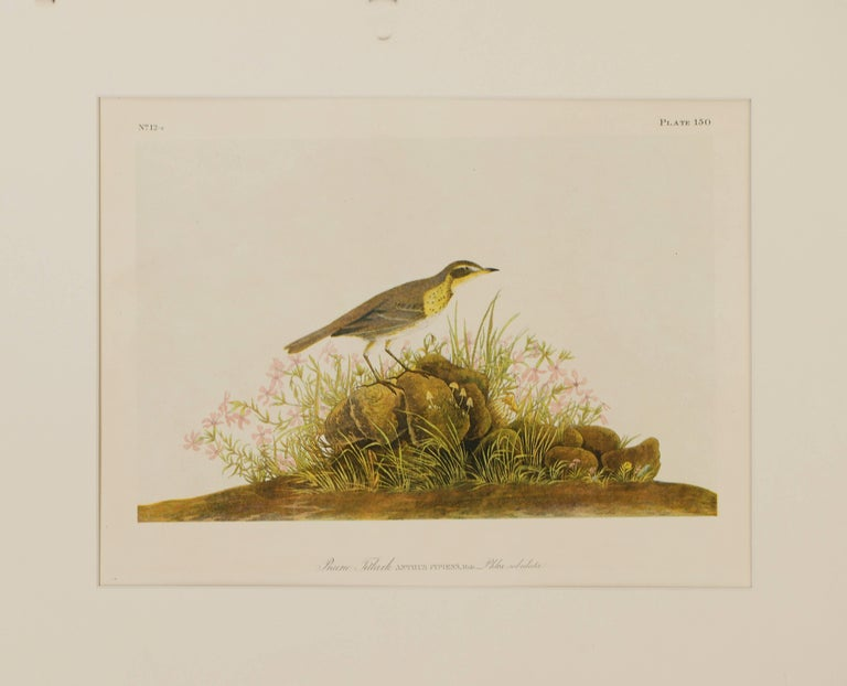 Prairie Titlark - Print by John James Audubon