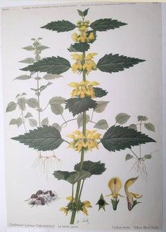 Goldnessel (Lamium Galeobdolon) Le lamier jaune