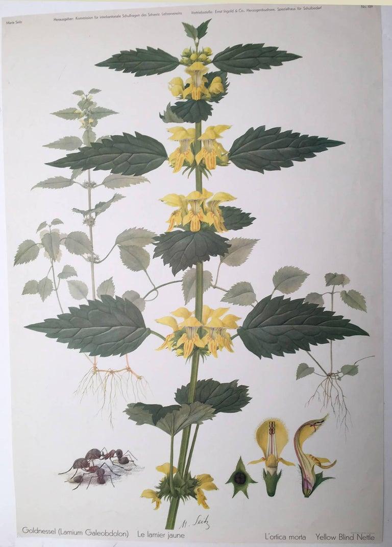Goldnessel (Lamium Galeobdolon) Le lamier jaune - Print by Marta Seitz