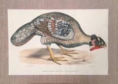 Bengel Horned Pheasant, Satira Lathami