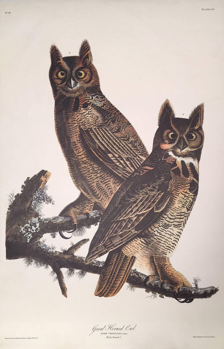 Great Horned Owl, Plate LXI, Amsterdam Edition