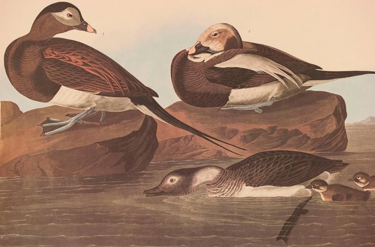 Long-tailed Duck  - Print by John James Audubon