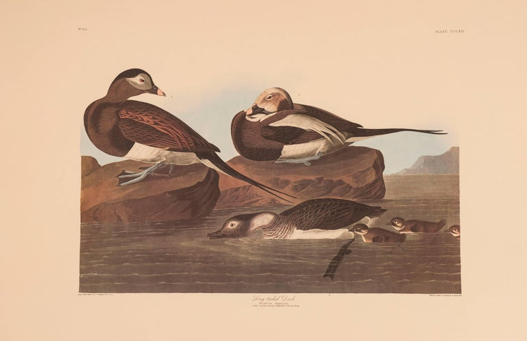 John James Audubon Animal Print - Long-tailed Duck
