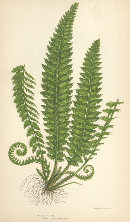 Unknown Mountain And Holly Fern Print For Sale At 1stdibs