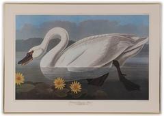 Common American Swan