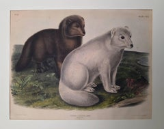 Arctic Fox, Winter  and Summer Pelage