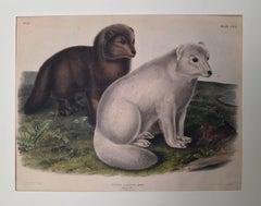 Arctic Fox, Winter  and Summer Pelage