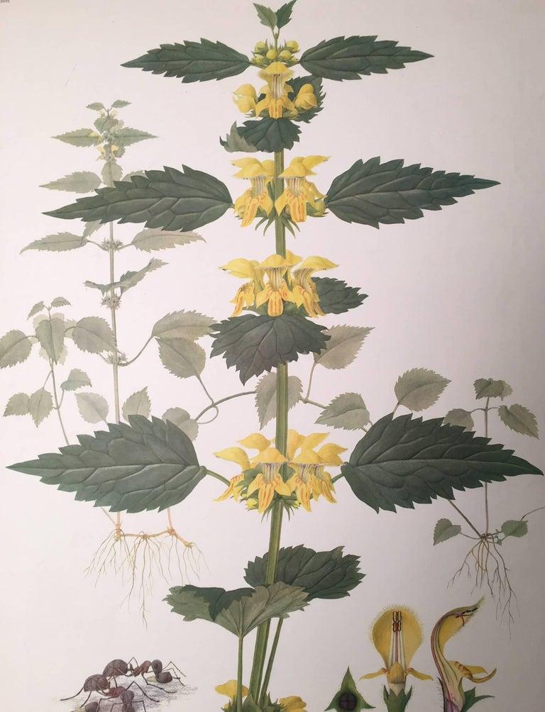 Goldnessel (Lamium Galeobdolon) Le lamier jaune - Realist Print by Marta Seitz