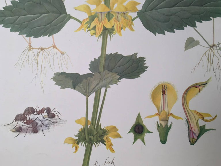 Offset lithograph by Marta Seitz, published in Switzerland, 1961.   Lamium galeobdolon, commonly known as yellow archangel, is a widespread wildflower in Europe, and has been introduced elsewhere as a garden plant. It displays the zygomorphic flower