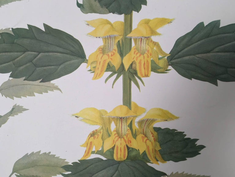 Goldnessel (Lamium Galeobdolon) Le lamier jaune For Sale 1
