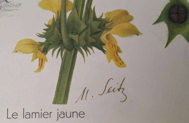 Goldnessel (Lamium Galeobdolon) Le lamier jaune For Sale 3