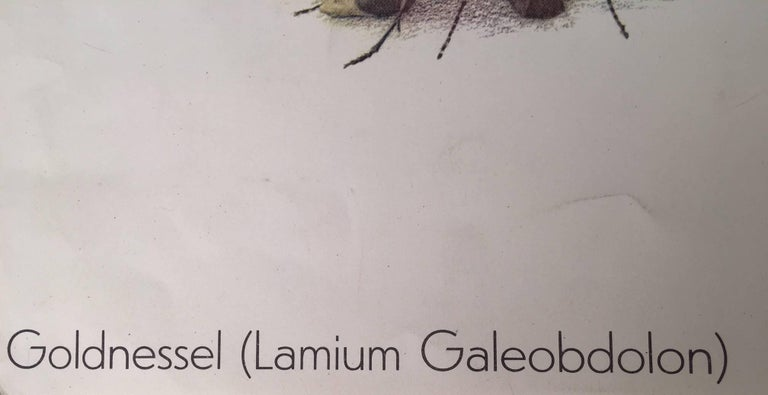 Goldnessel (Lamium Galeobdolon) Le lamier jaune For Sale 4