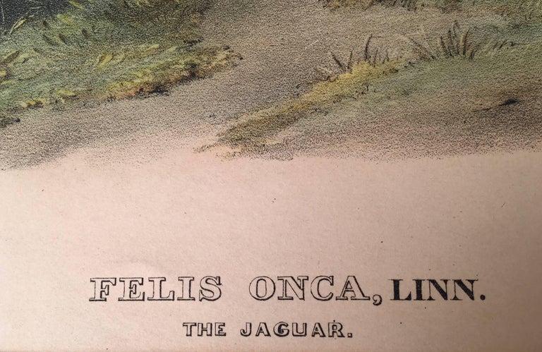 Felis Onca, Linn. The Jaguar. For Sale 2