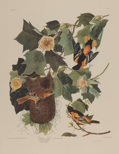 Baltimore Oriole by Audubon