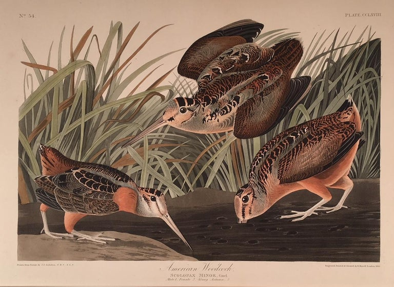 American Woodcock  - Print by John James Audubon