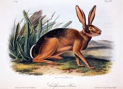California Hare
