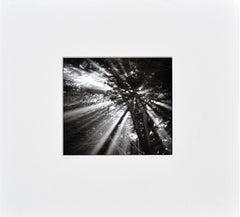 Cypress Tree Sunbeams - Black & White Landscape Photograph
