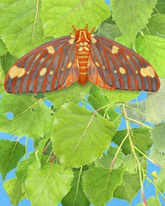 Regal Moth and Aspen