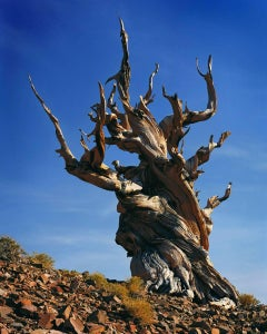 Bristlecone, Afternoon