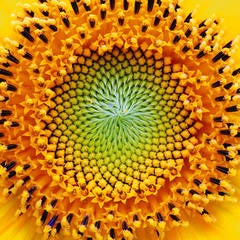 Yellow Sunflower Spiral