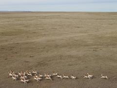 Pronghorn Antelope, Niobara County, Wyoming