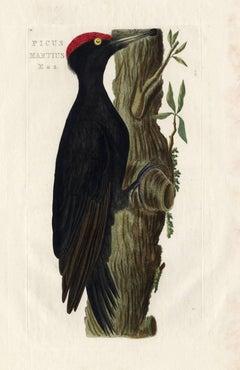 Picus martius.