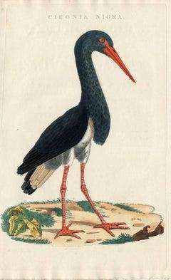 Ciconia nigra.