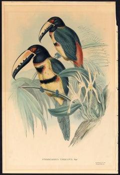Pteroglossus torquatus, Wagl.