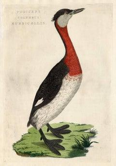 Podiceps (Colymbus) rubricollis.
