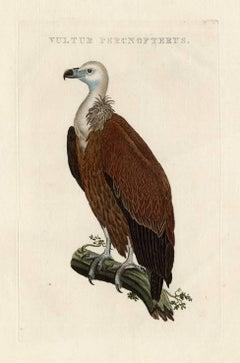 Vultur percnopterus.
